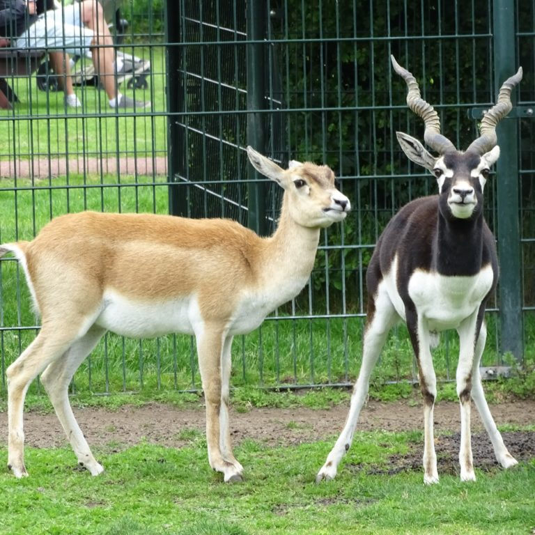 Indische Antilope (Black Buck)
