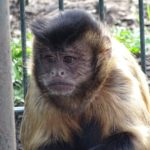 Bruine kuifkapucijnaap - 1 - aangepast