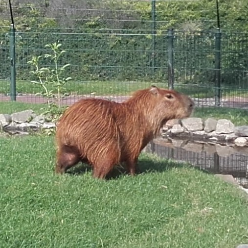 Capybara - vierkant