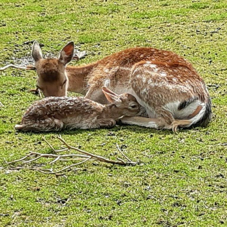 Damhert jong met moeder