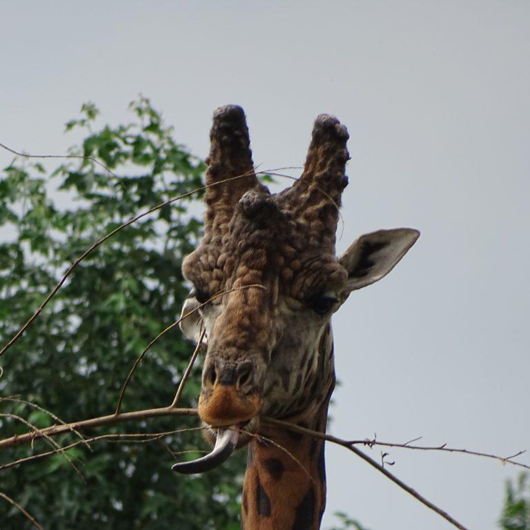 Giraf - vierkant