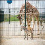 Giraffe en zebra