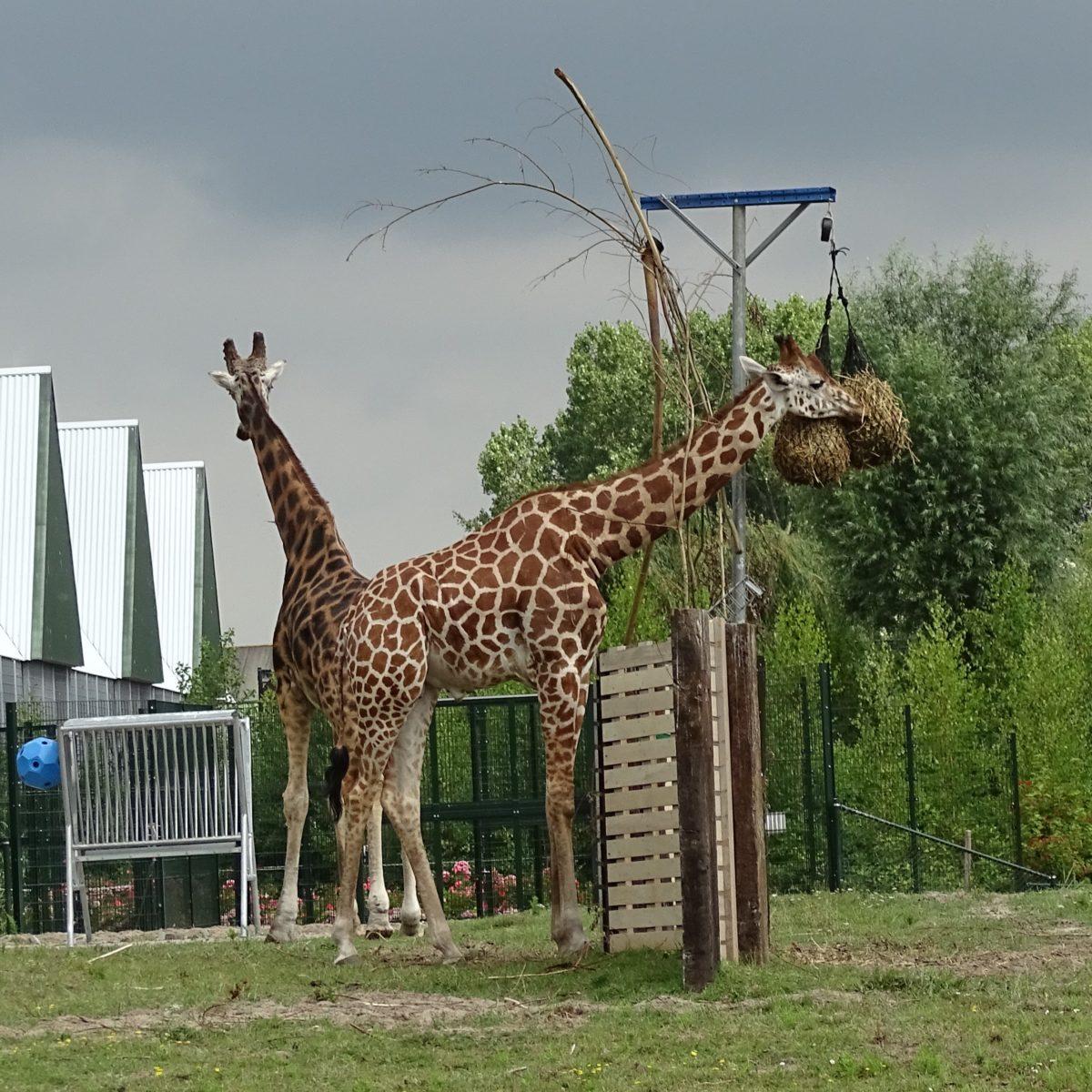 Giraffen - vierkant