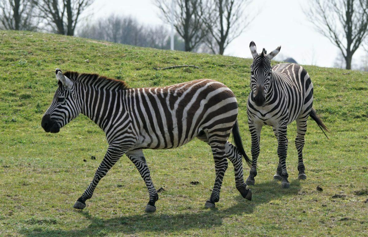 Grant's zebras