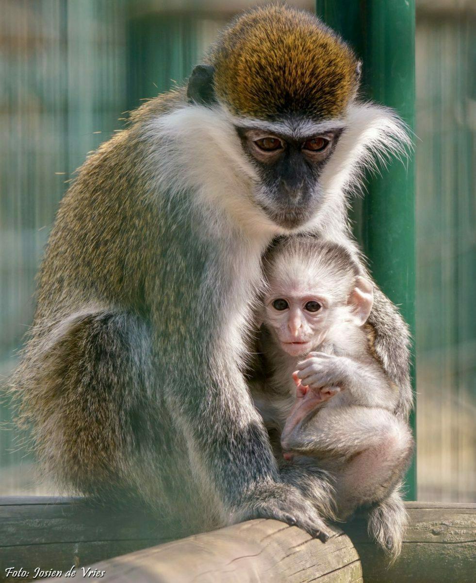 Groene meerkat met baby 3 - aangepast 2