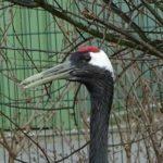 Japanse Kraanvogel - 2 - aangepast