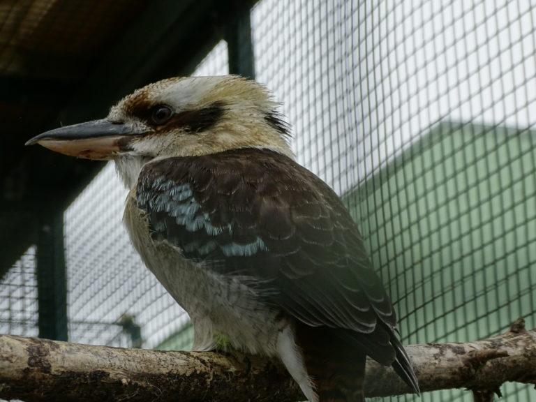 Kookaburra - 2