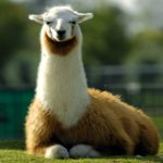 Lama - aangepast