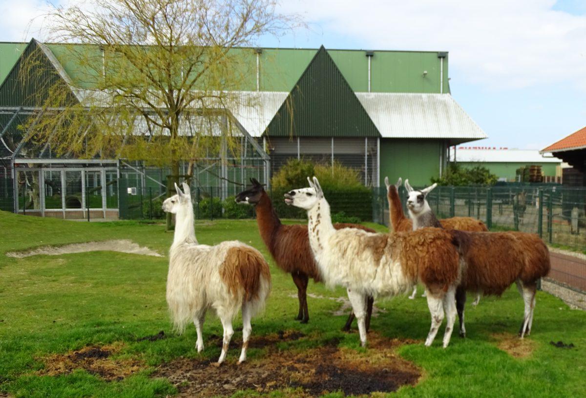 Lama's - aangepast