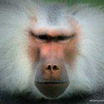 MIX fotografie - baviaan