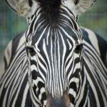 MIX fotografie - zebra