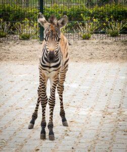 zebrajong geboren