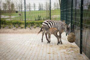Zebra met moeder 2