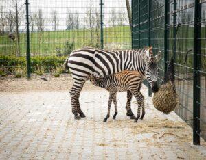 Zebra met moeder