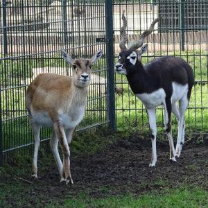 Addax antilope