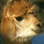 alpaca-7543711 - aangepast