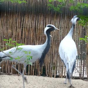 blanckendaell jufferkraanvogel