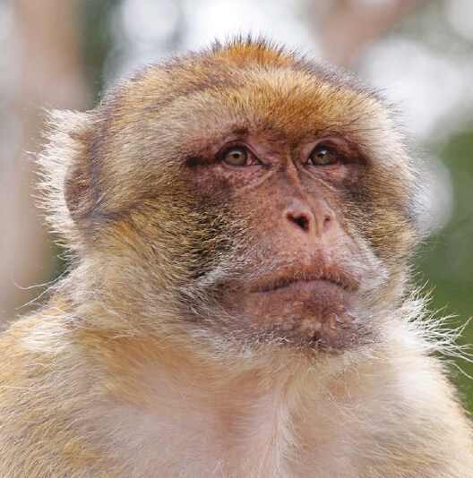 dieren-afrika-berberaap-fact-01