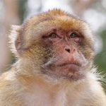dieren-afrika-berberaap-pasfoto