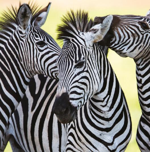 dieren-afrika-grant-zebra-02