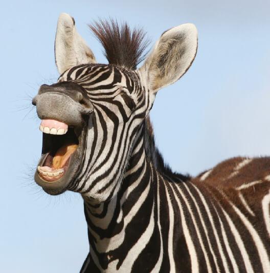 dieren-afrika-grant-zebra-fact-01