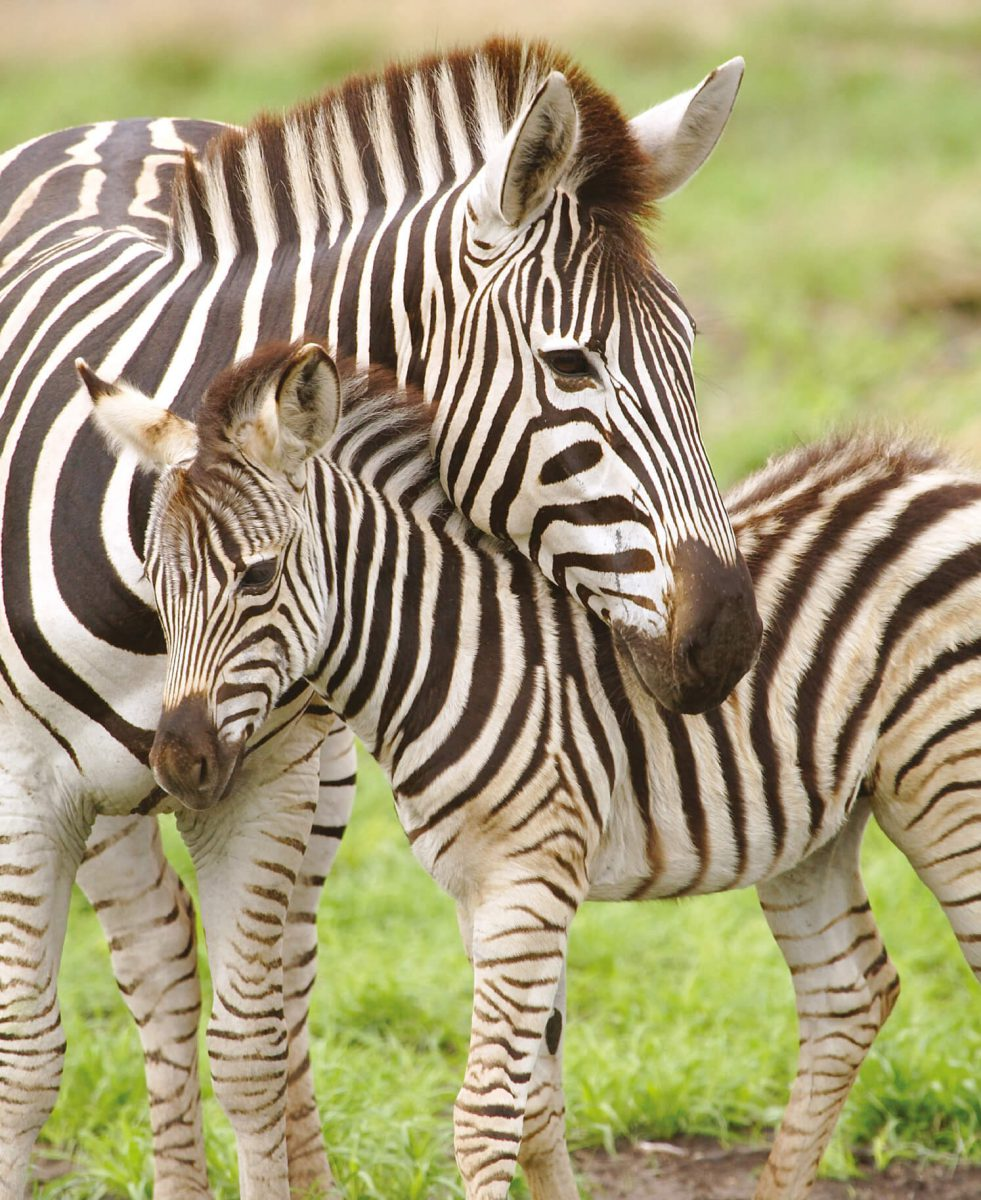 dieren-afrika-grant-zebra-hoofdafbeelding