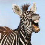 dieren-afrika-grant-zebra-pasfoto