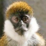 dieren-afrika-groene-balemeerkat-pasfoto