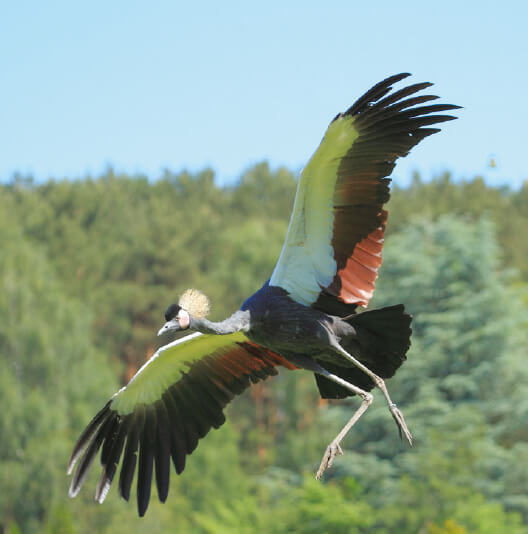 dieren-afrika-krijze-kroonkraanvogel-fact-02