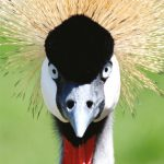 dieren-afrika-krijze-kroonkraanvogel-pasfoto