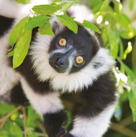 dieren-afrika-maki-bonte-vari-fact-01
