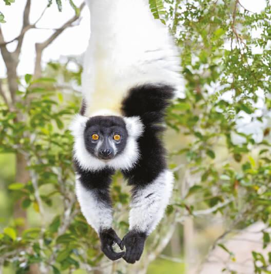 dieren-afrika-maki-bonte-vari-fact-02