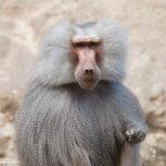 dieren-afrika-mantelbaviaan-pasfoto