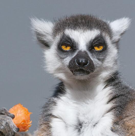 dieren-afrika-ringstaartmaki-fact-01