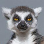 dieren-afrika-ringstaartmaki-pasfoto
