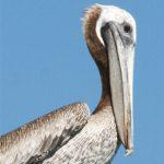 dieren-afrika-roodrugpelikaan-pasfoto