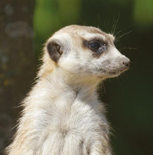 dieren-afrika-stokstaartje-fact-01
