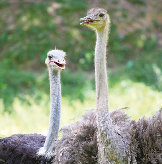 dieren-afrika-struisvogel-fact-01