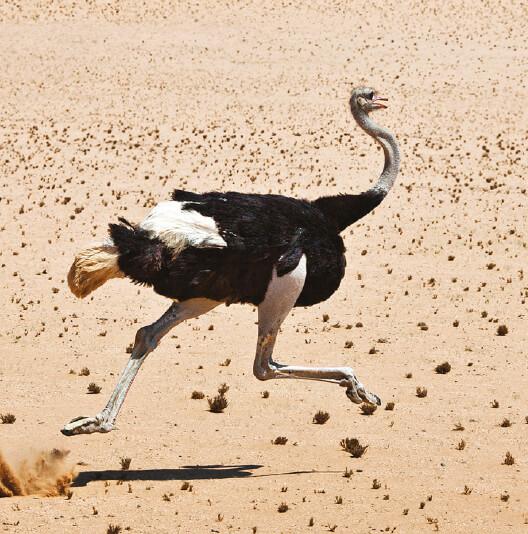 dieren-afrika-struisvogel-fact-02