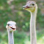 dieren-afrika-struisvogel-pasfoto