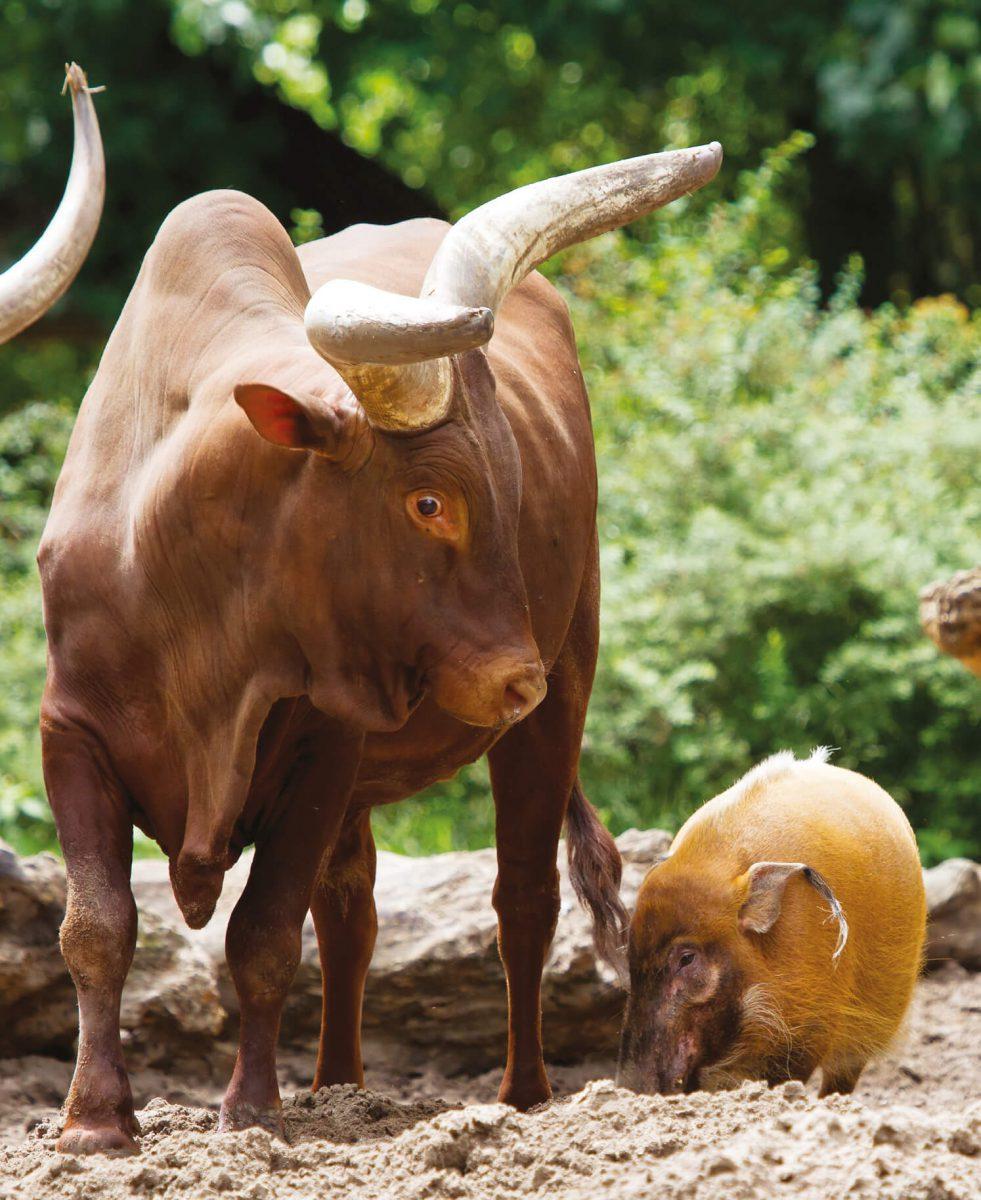 dieren-afrika-watusirund-hoofdafbeelding