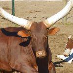 dieren-afrika-watusirund-pasfoto