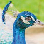 dieren-azie-blauwe-pauw-pasfoto