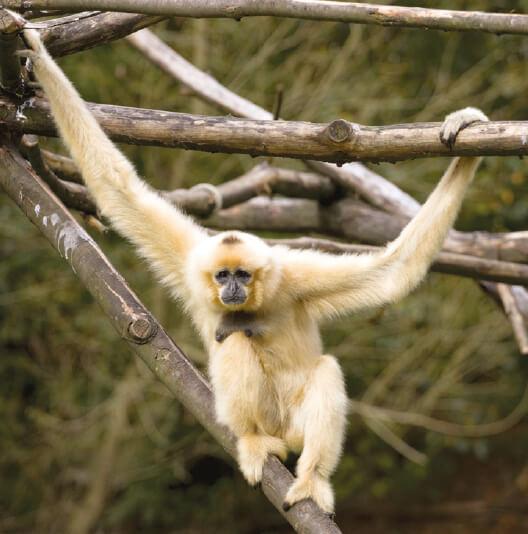 dieren-azie-gibbon-fact-01