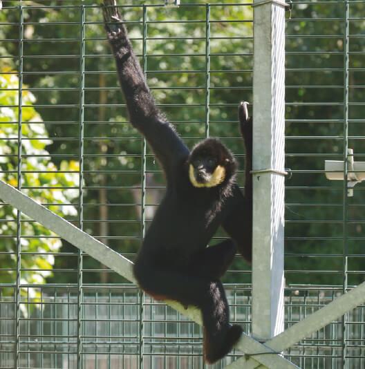 dieren-azie-gibbon-fact-02