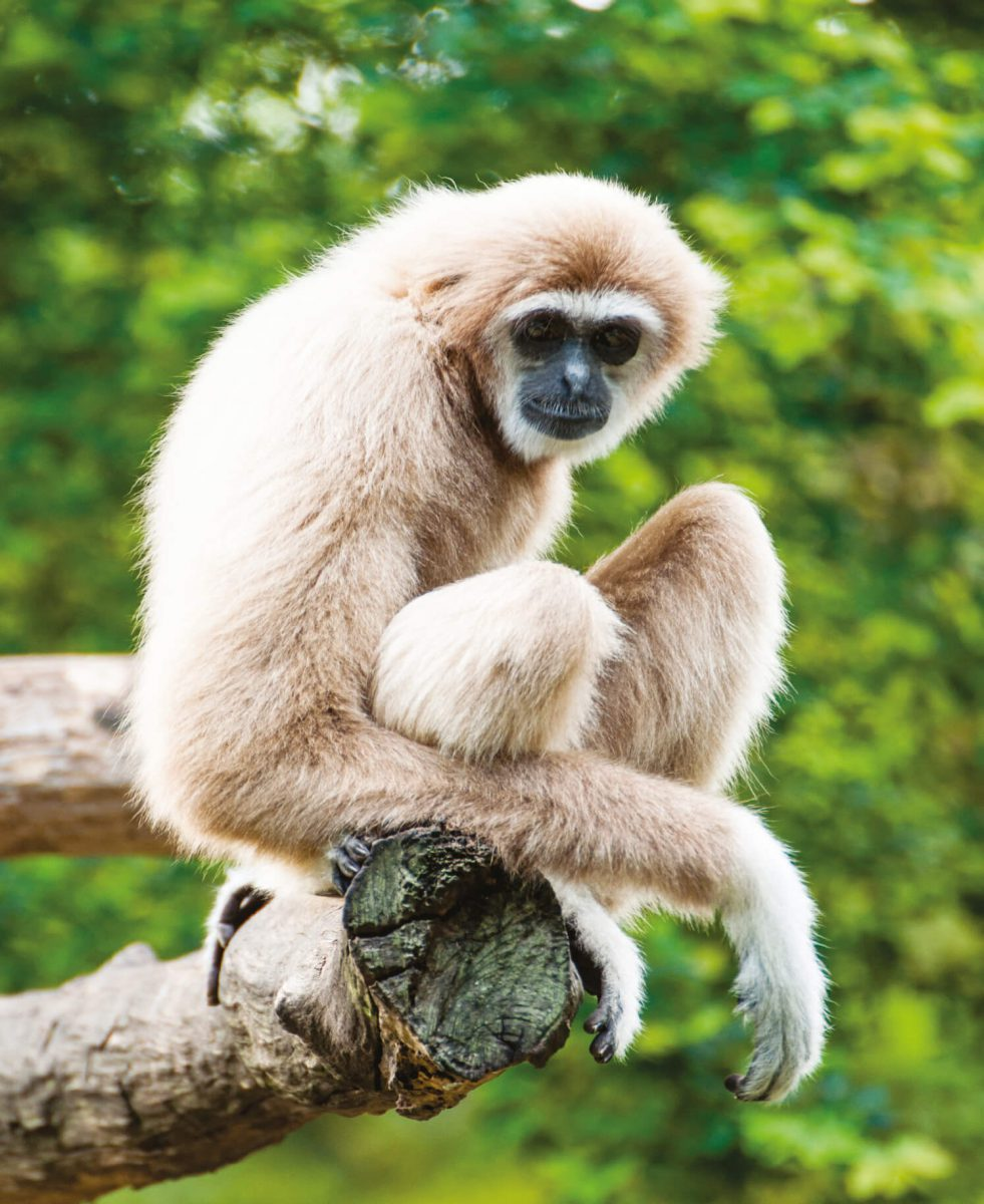 dieren-azie-gibbon-hoofdafbeelding