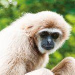dieren-azie-gibbon-pasfoto