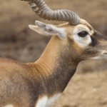 dieren-azie-indische-antilope-pasfoto