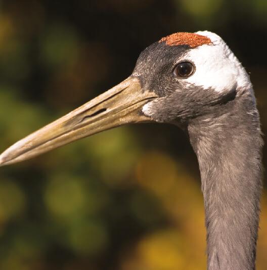 dieren-azie-japanse-kraanvogel-fact-01