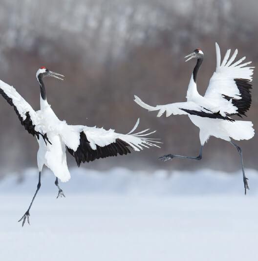 dieren-azie-japanse-kraanvogel-fact-02